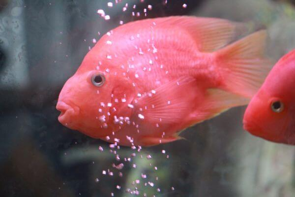 Pretty pink fishes