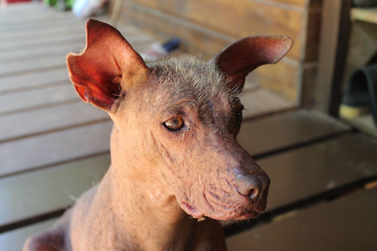 """Free photo """"The Peruvian Hairless Dog"""""""