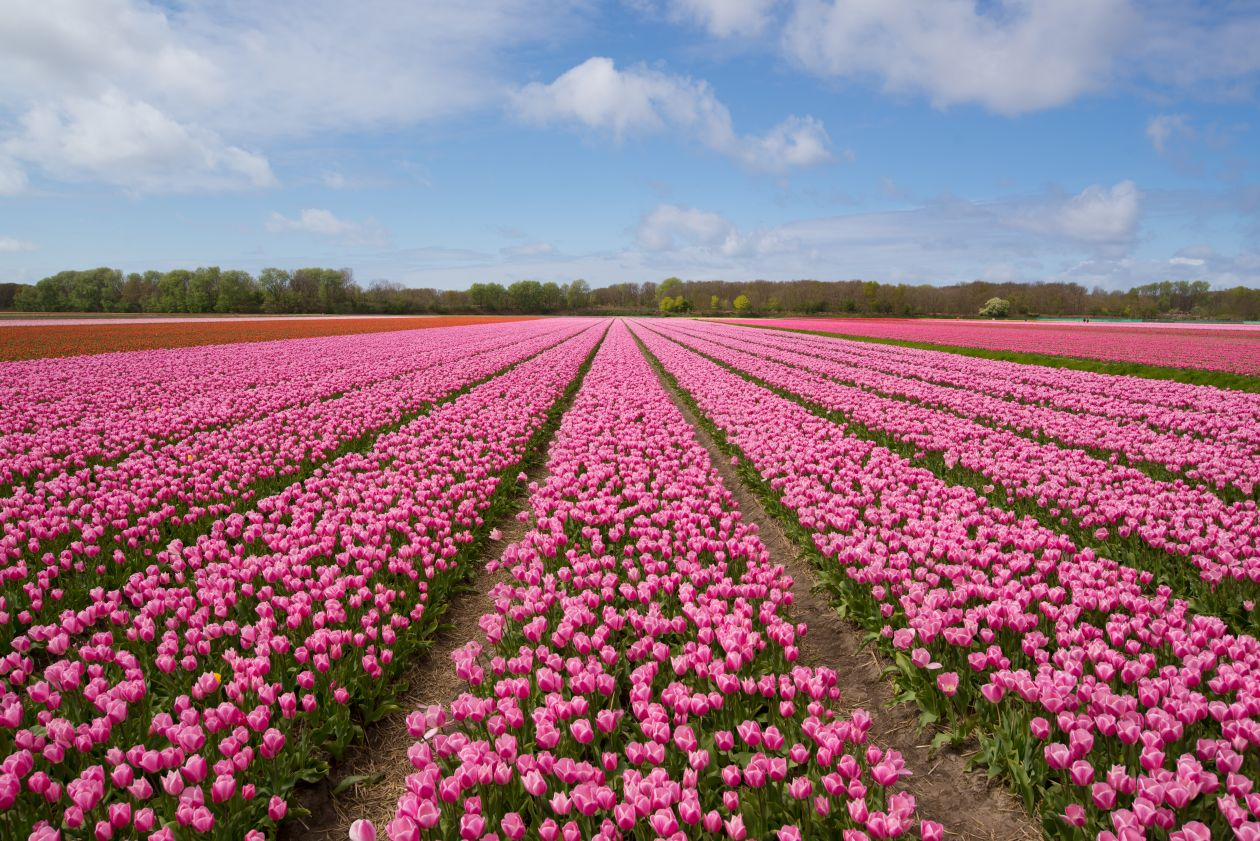 "Free photo ""Tulip field"""