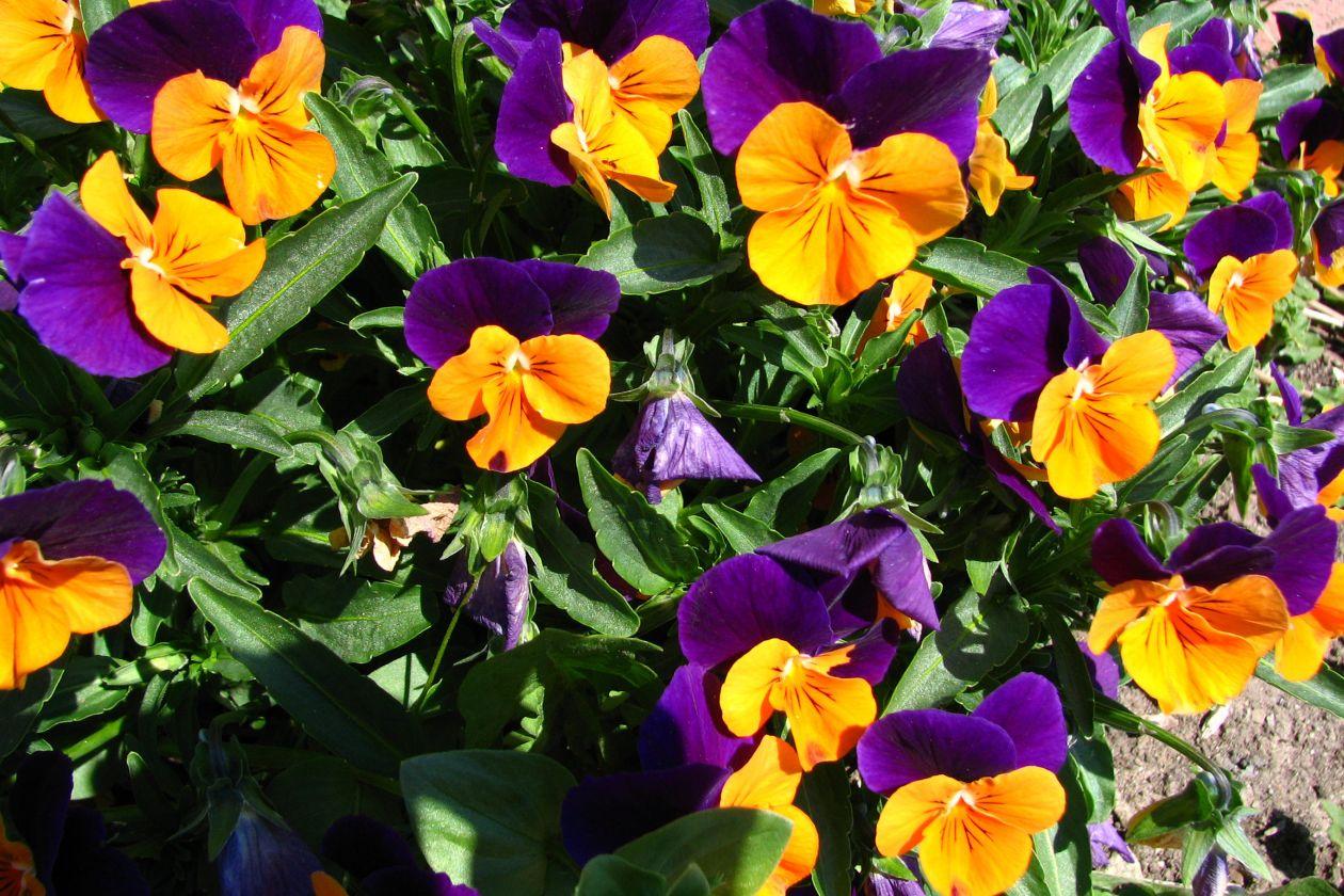 """Free photo """"Orange and purple violas"""""""