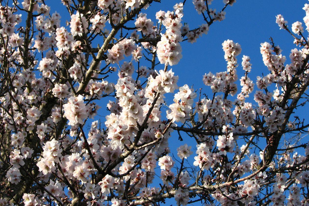 "Free photo ""White fruit tree blossoms 1"""