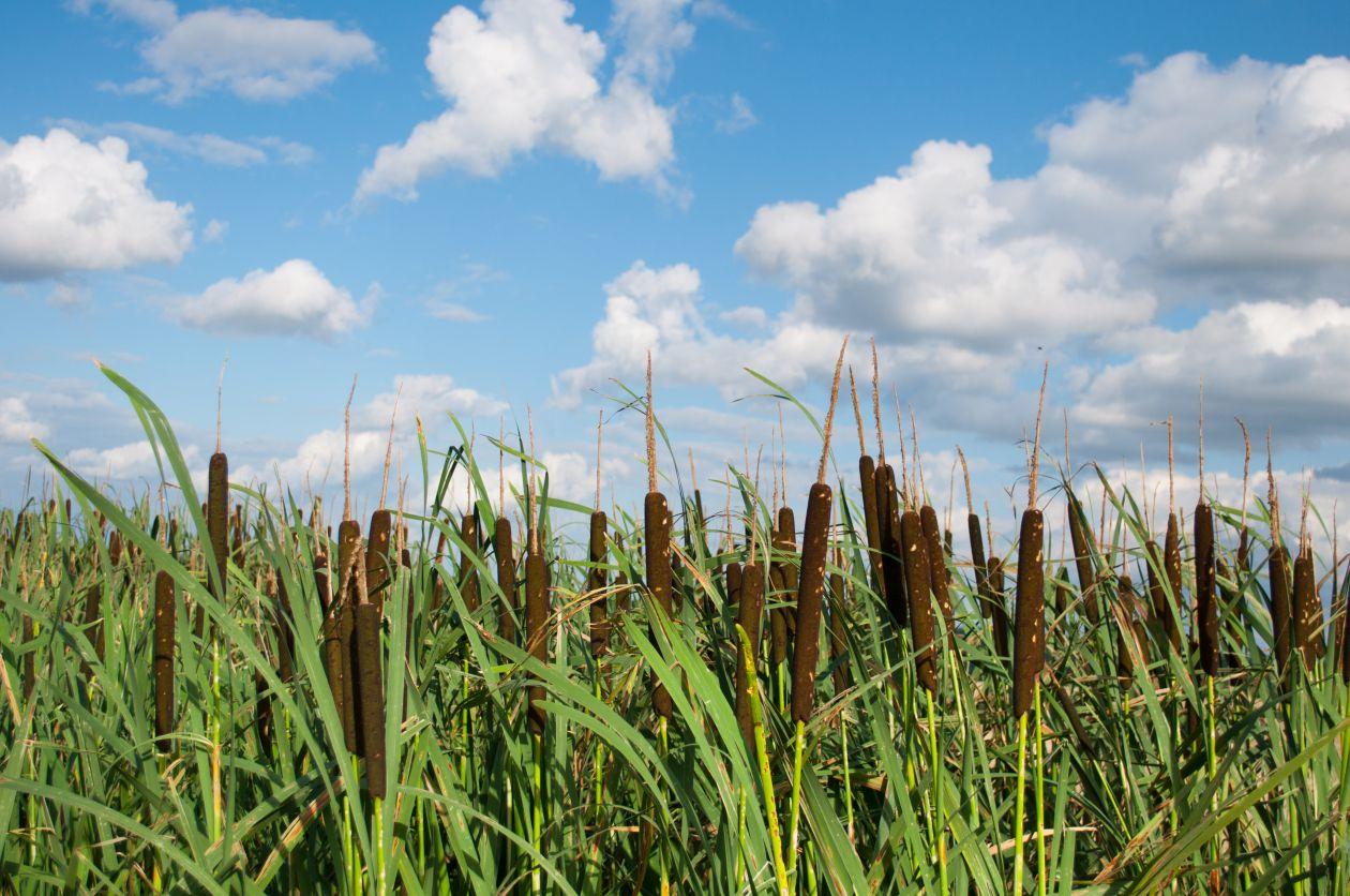 """Free photo """"Waving reeds"""""""