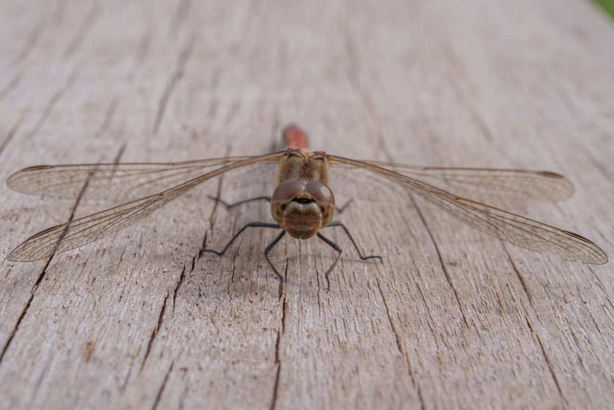"Free photo ""Dragonfly"""