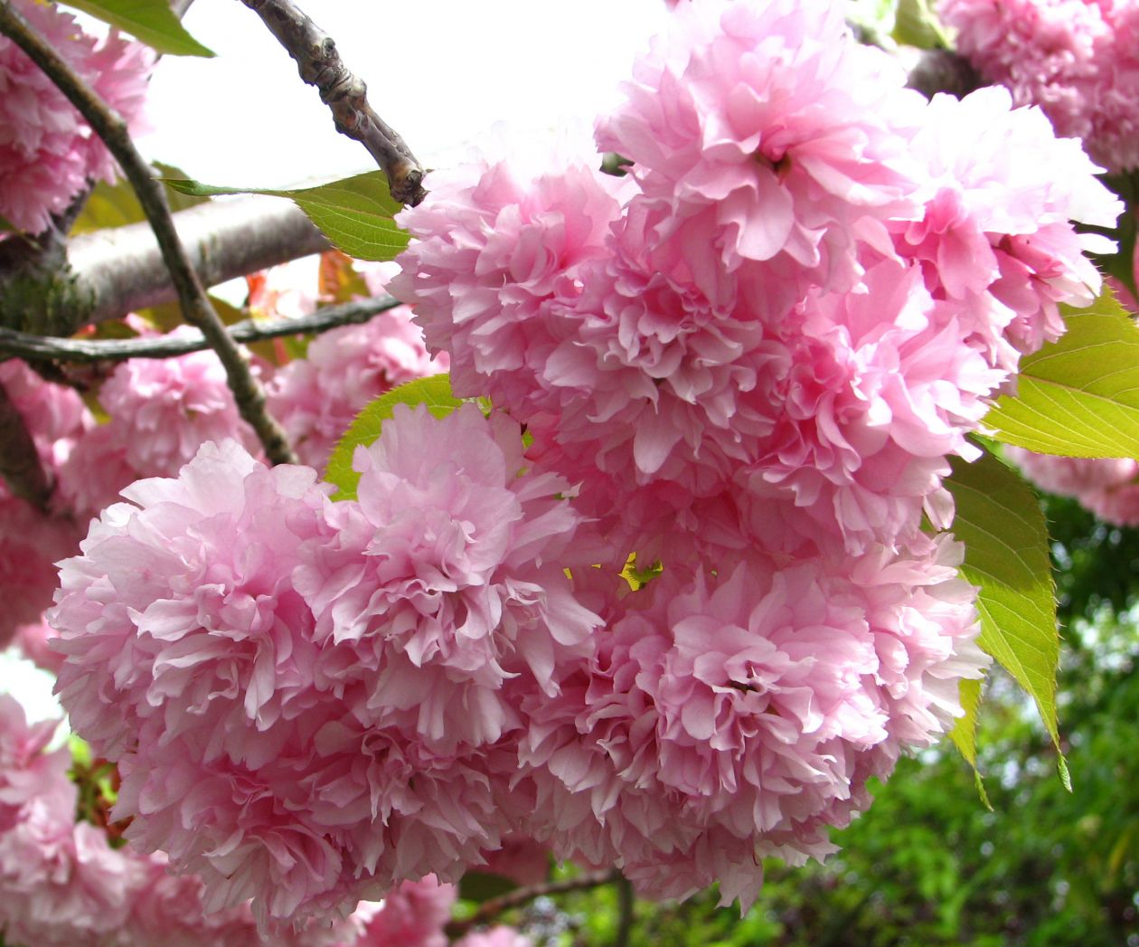 """Free photo """"Fluffy pink fruit-tree blossoms"""""""