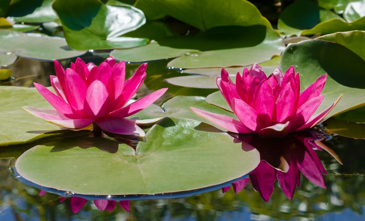 """Free photo """"Water lily"""""""