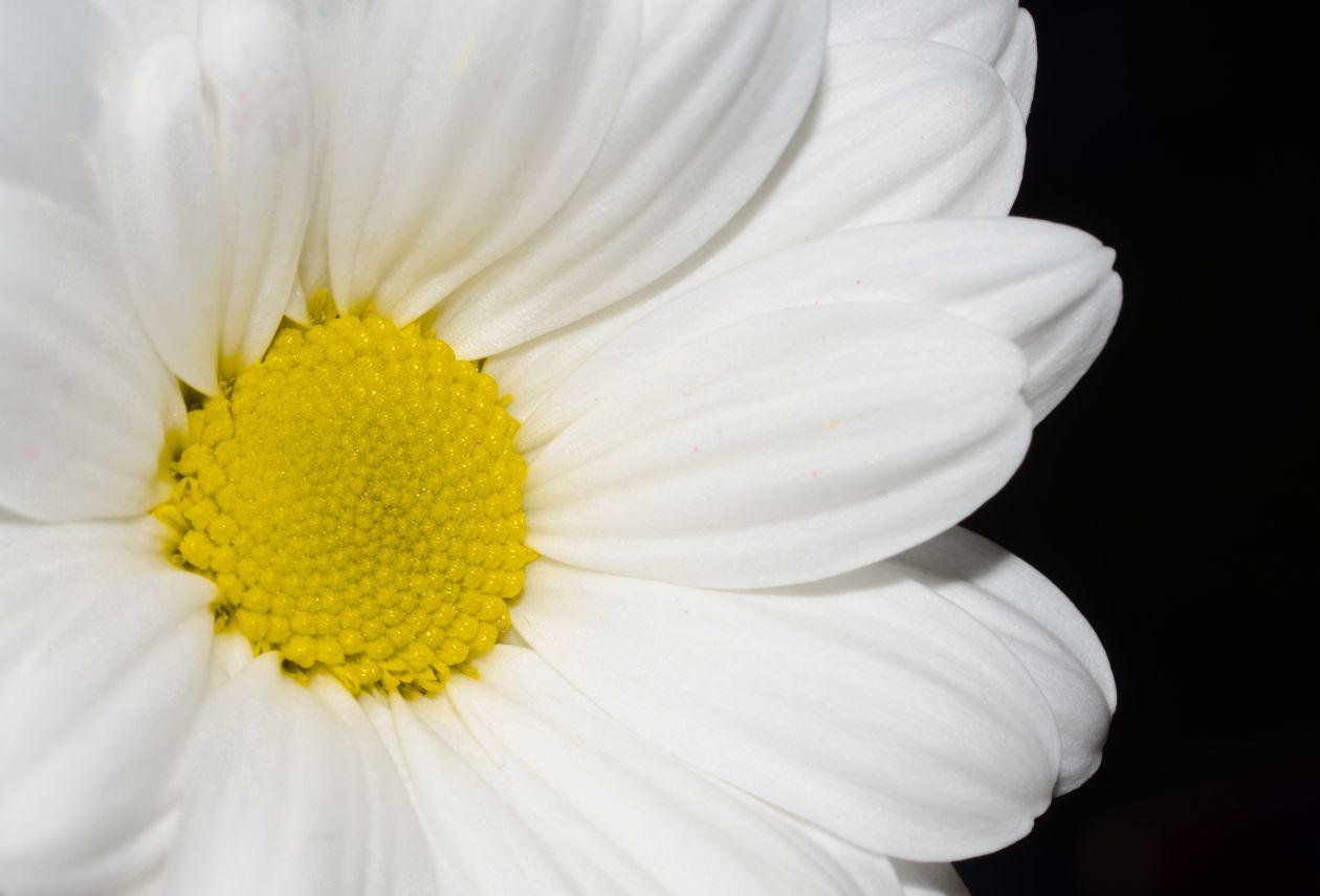 """Free photo """"White flower"""""""