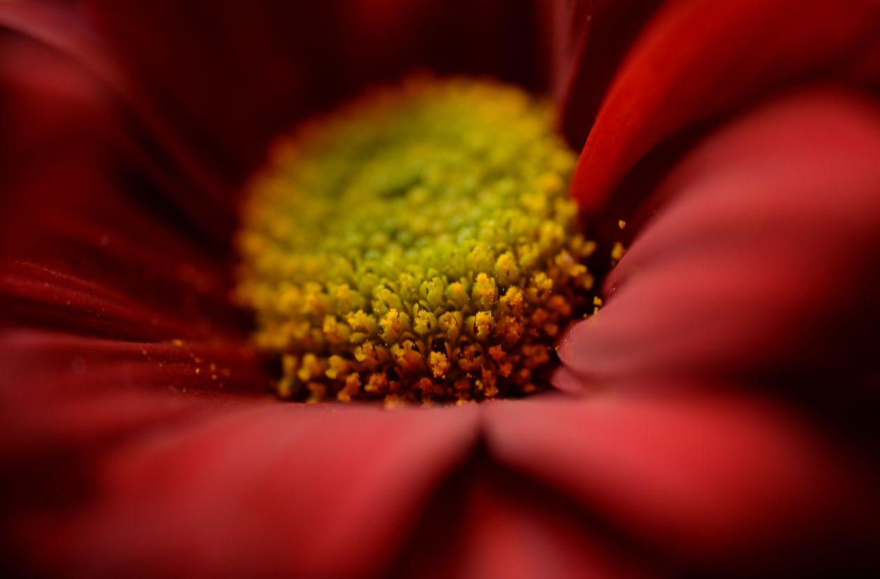 "Free photo ""Red flower bud macro"""