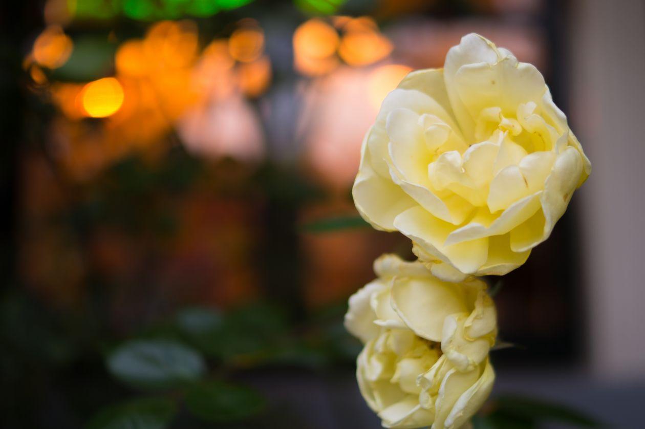"Free photo ""Roses"""