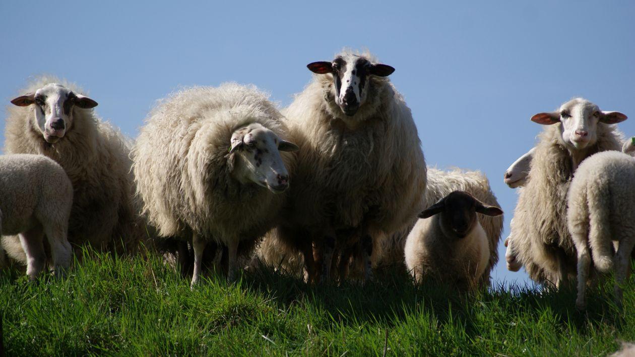 "Free photo ""Family sheep"""