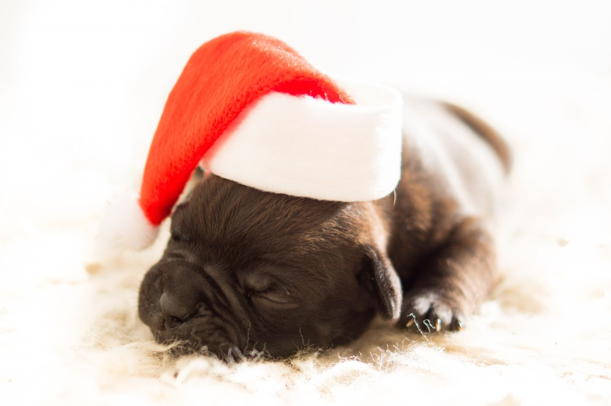 "Free photo ""Christmas puppy"""