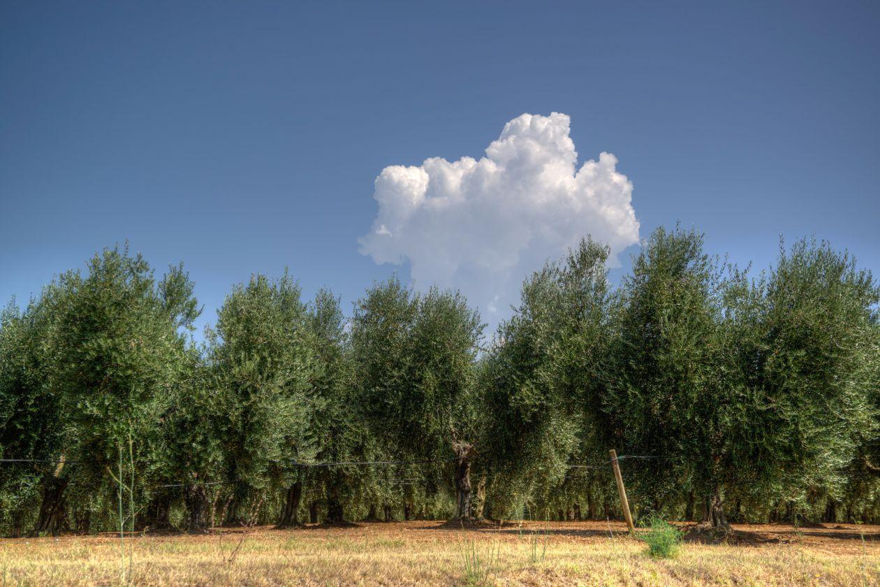 "Free photo ""Olive trees"""