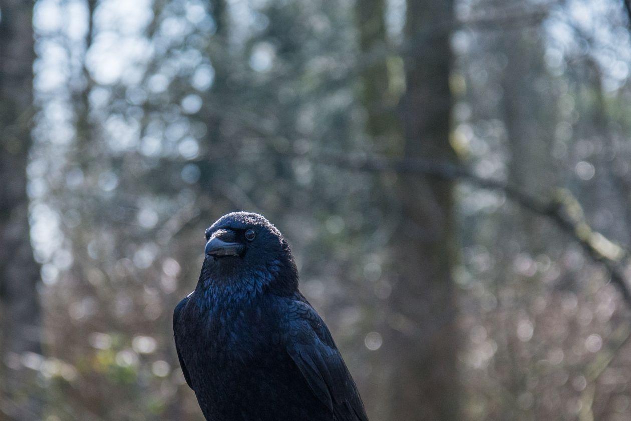 "Free photo ""Beautiful crow"""