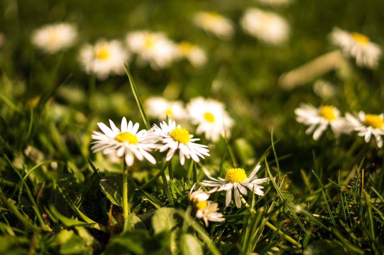 "Free photo ""Daisy"""