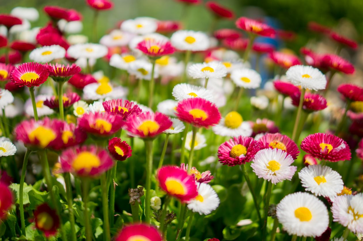 """Free photo """"Colorful daisies"""""""