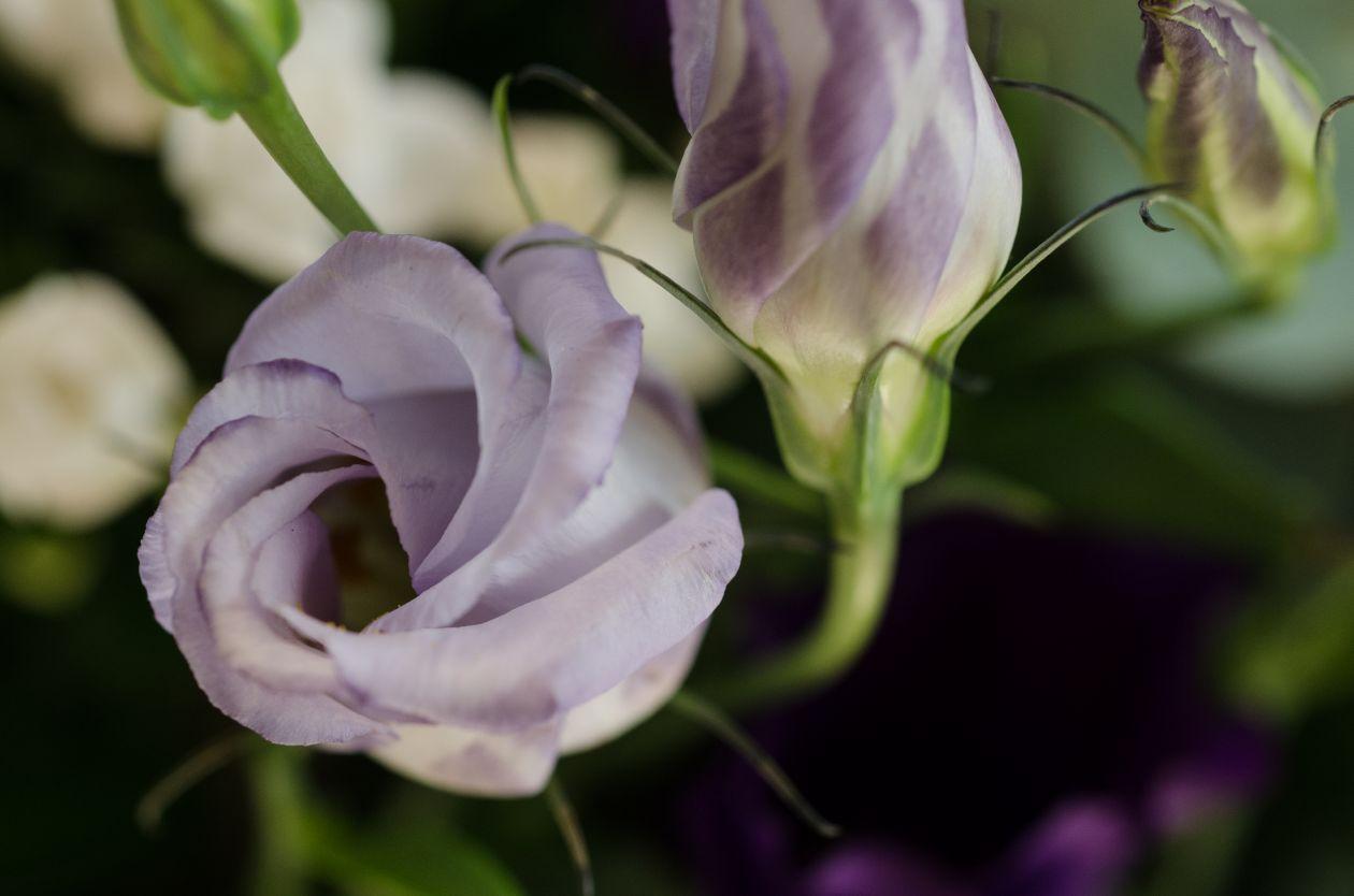 "Free photo ""Purple rose"""