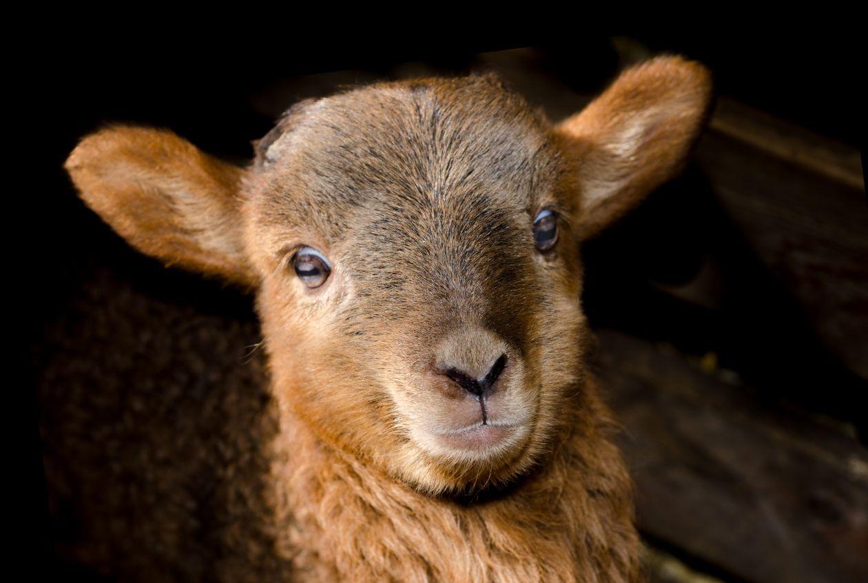 "Free photo ""Little lamb"""