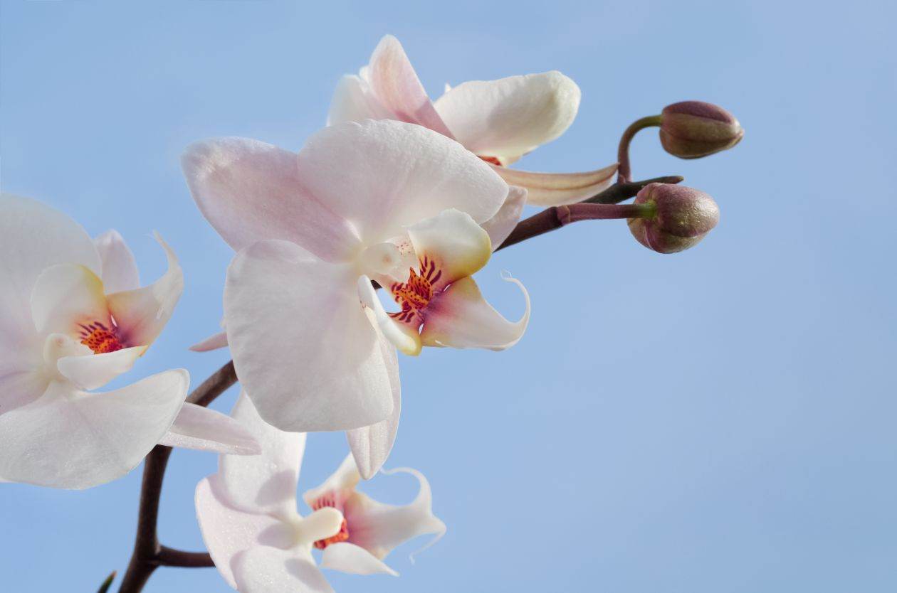 """Free photo """"White orchid """""""