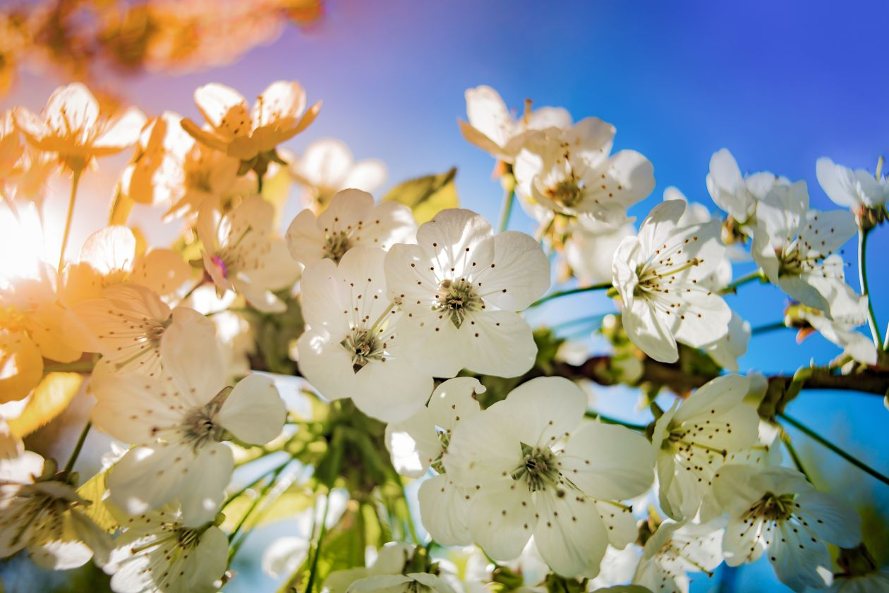 "Free photo ""Apple blossom"""