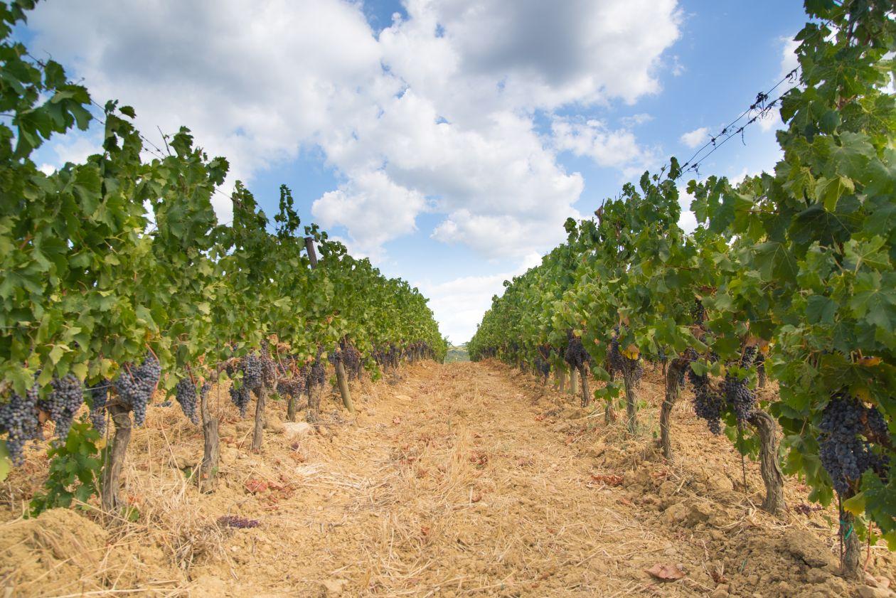 """Free photo """"Tuscan vineyard"""""""