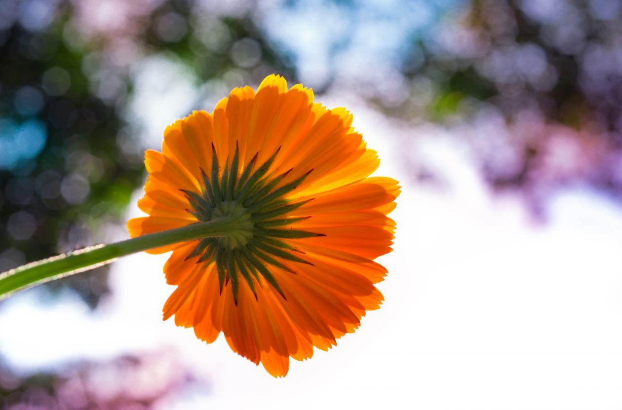 "Free photo ""Marigold"""
