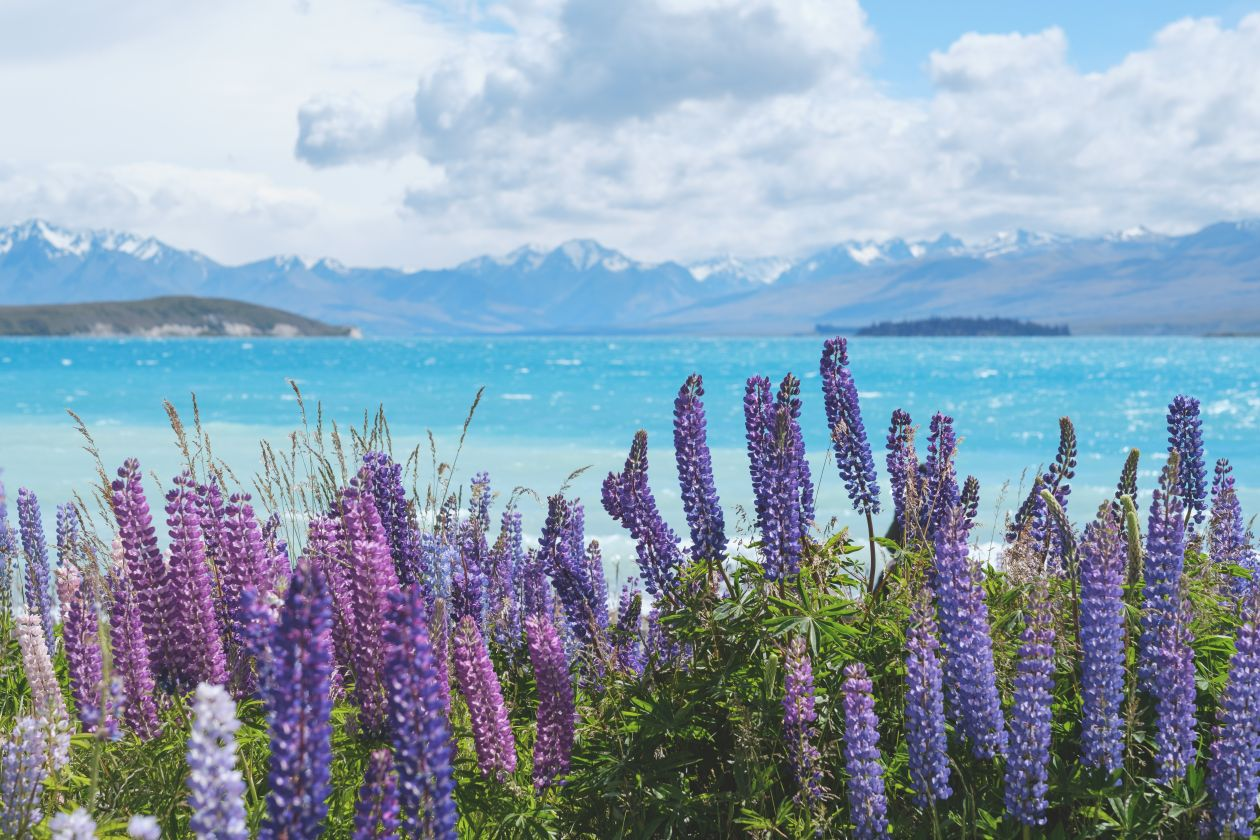 "Free photo ""Stunning Lupin flowers at Lake Pukaki New Zealand"" by Neil Hamilton-Ritchie"
