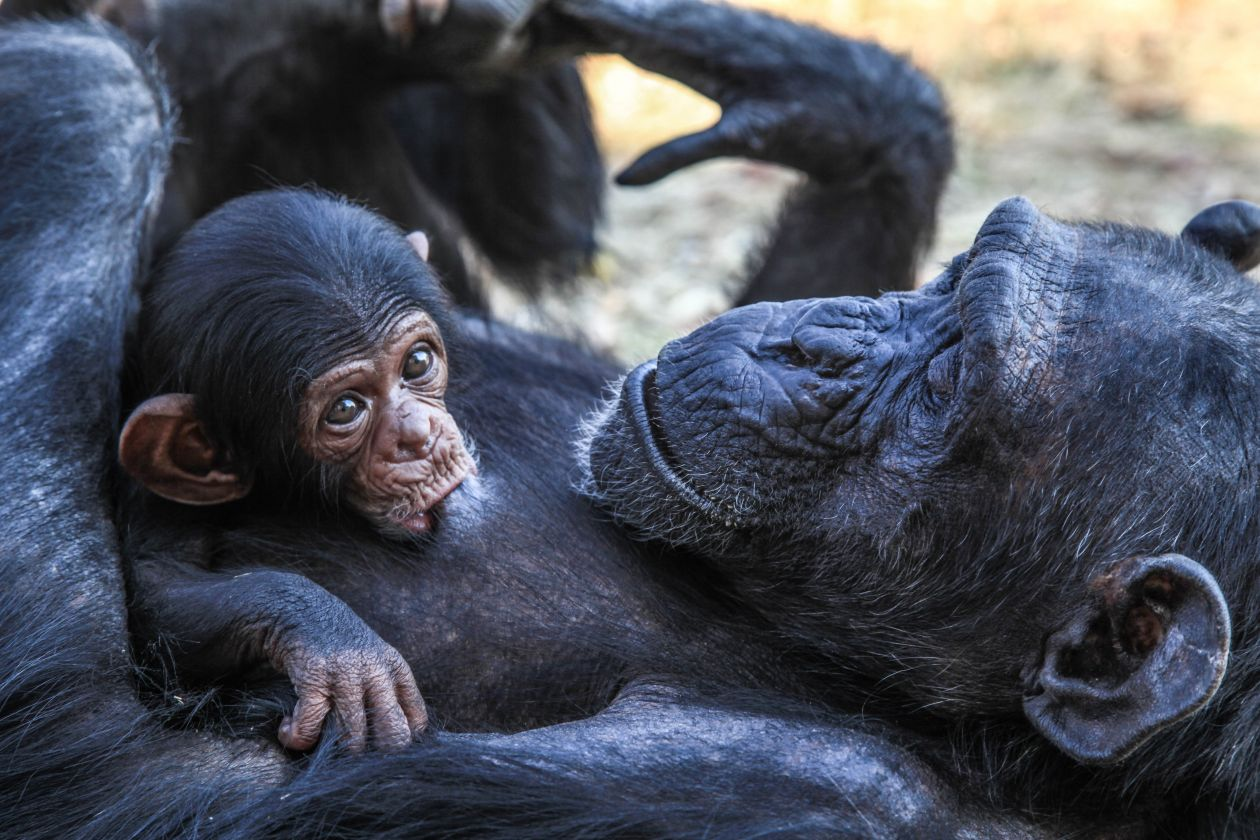 "Free photo ""Ape"""