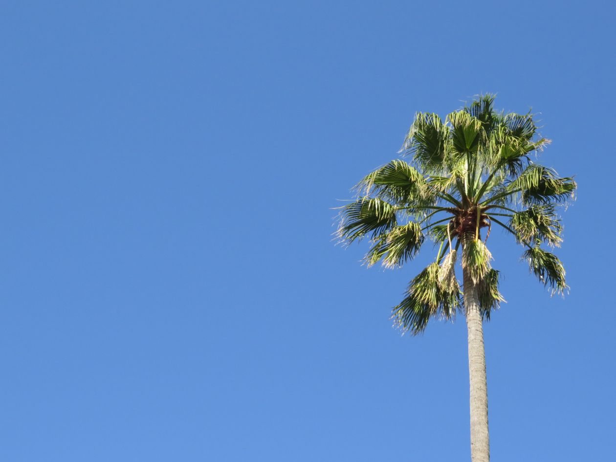 "Free photo ""Palm tree"" by Jake De Goldi"