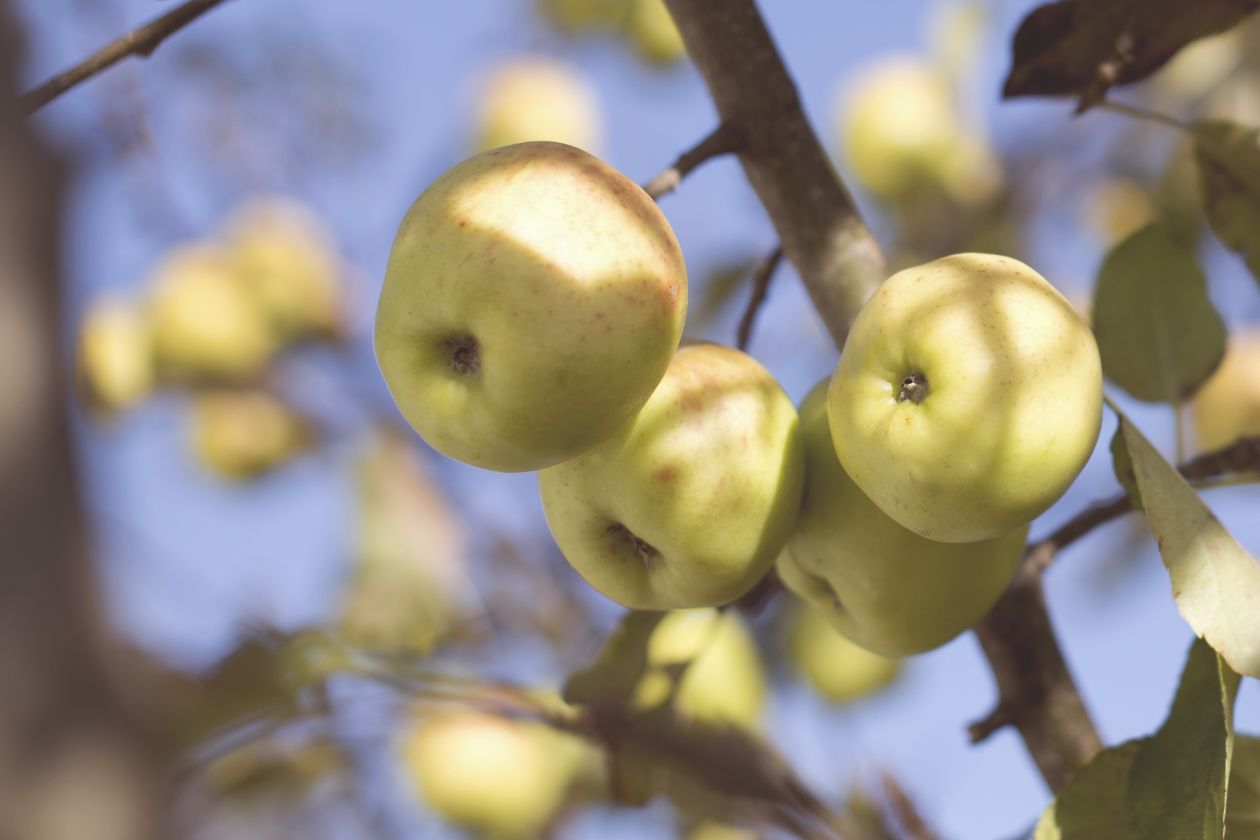 "Free photo ""Apple"" by Tim Mossholder"