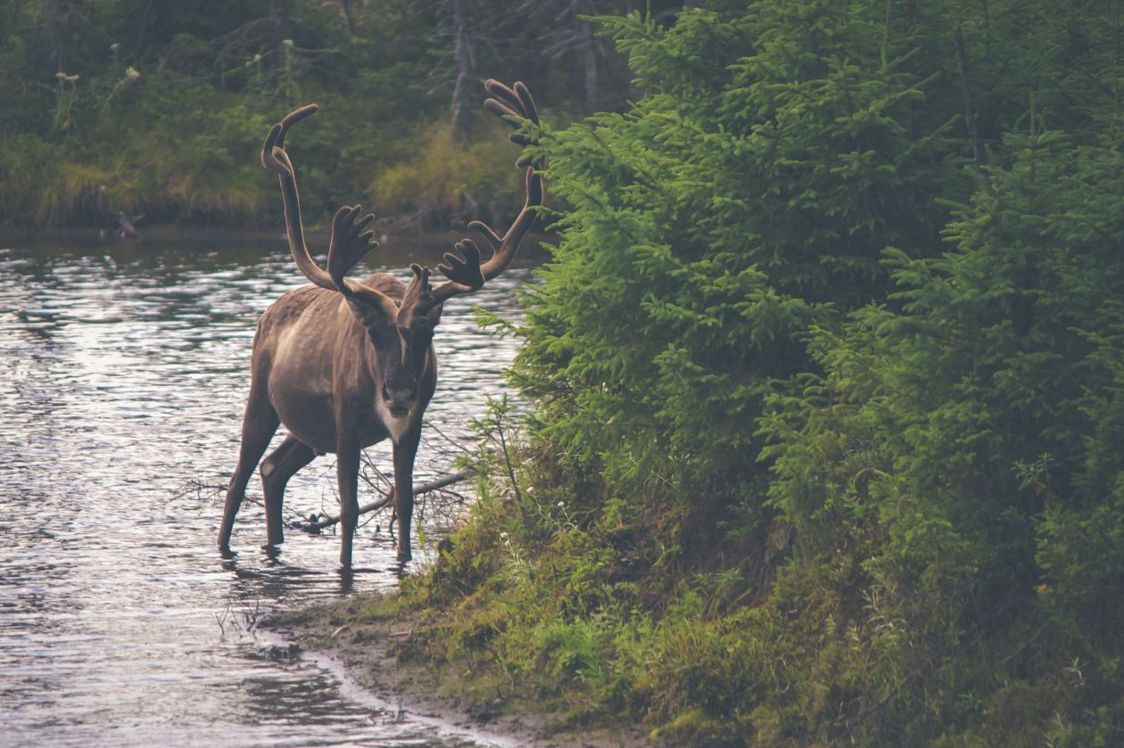 "Free photo ""Reindeer"" by Thomas Lefebvre"