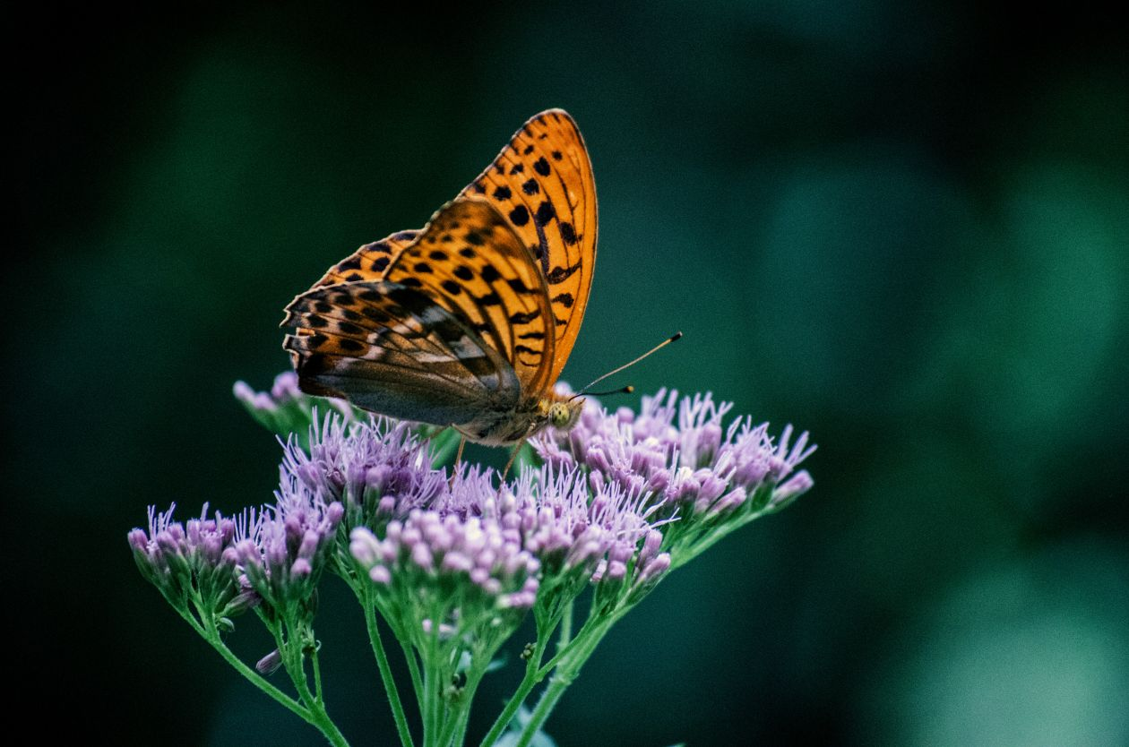 "Free photo ""Butterfly"" by Dominik QN"