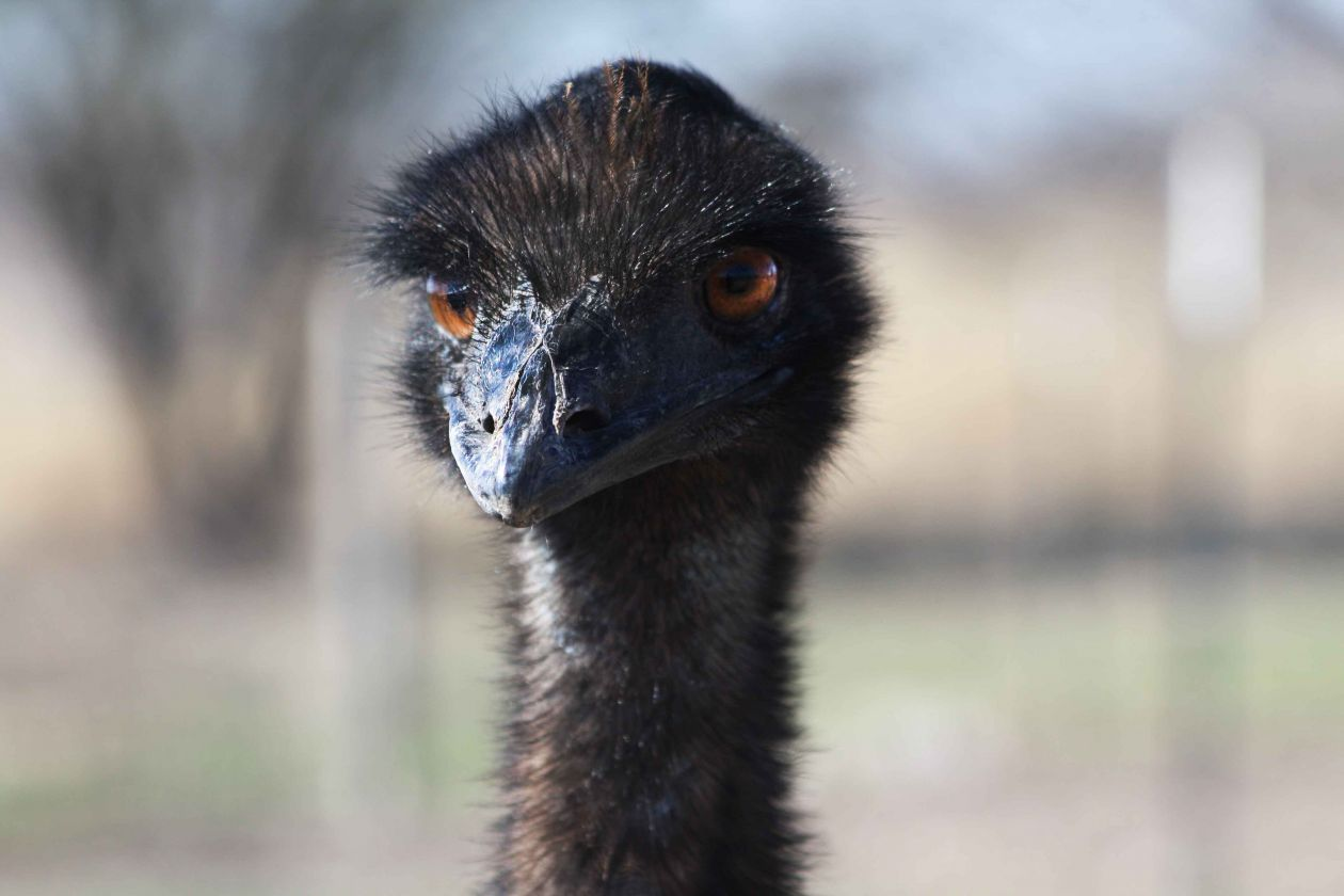 "Free photo ""Emu"" by Ruth Caron"