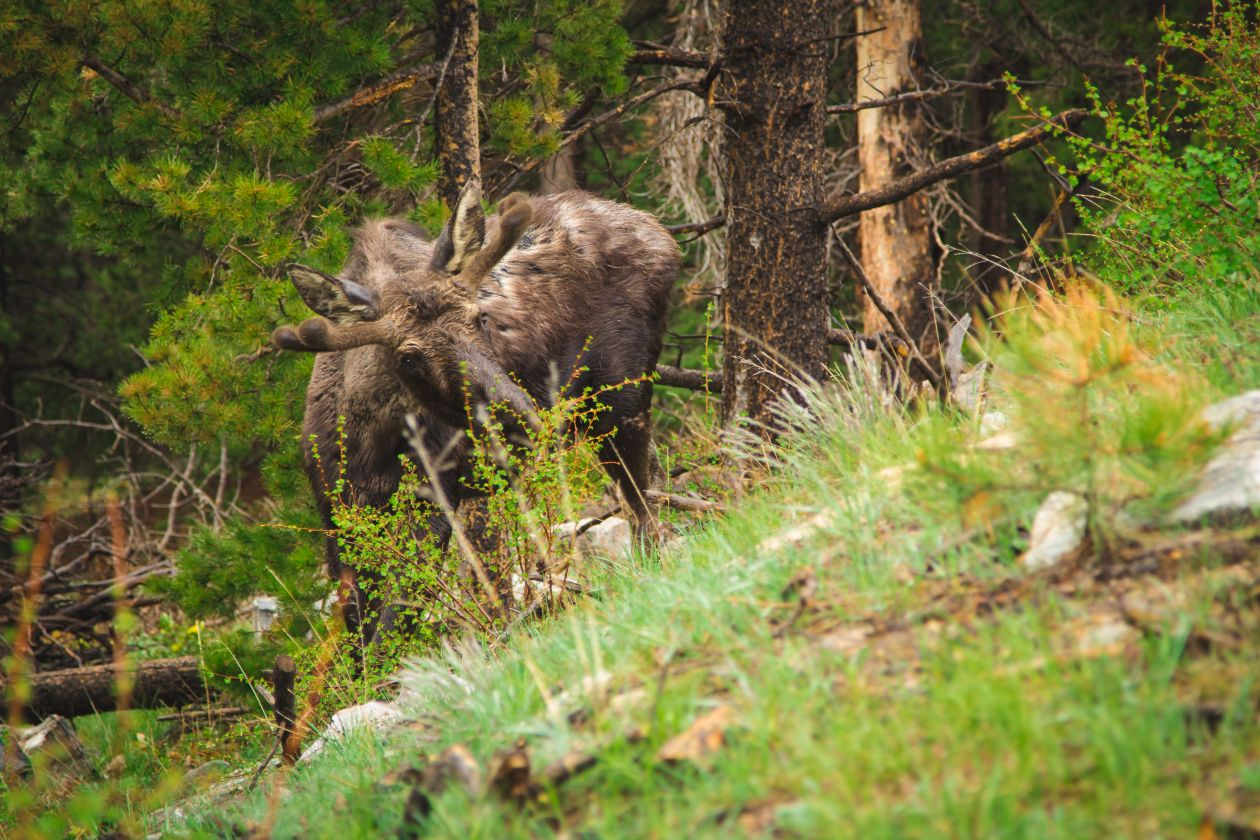 "Free photo ""Moose"" by Bryan Rodriguez"