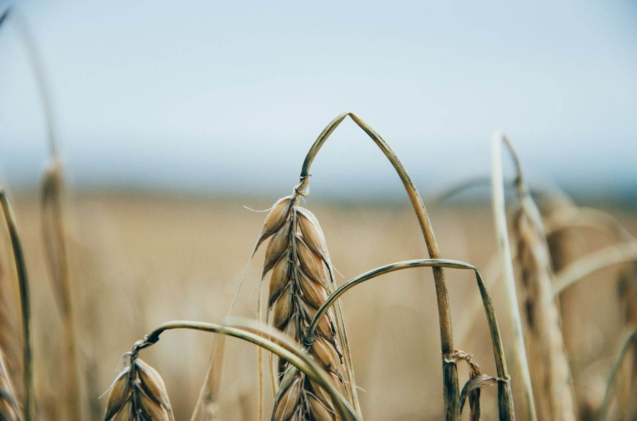 "Free photo ""Wheat"" by Dominik Martin"