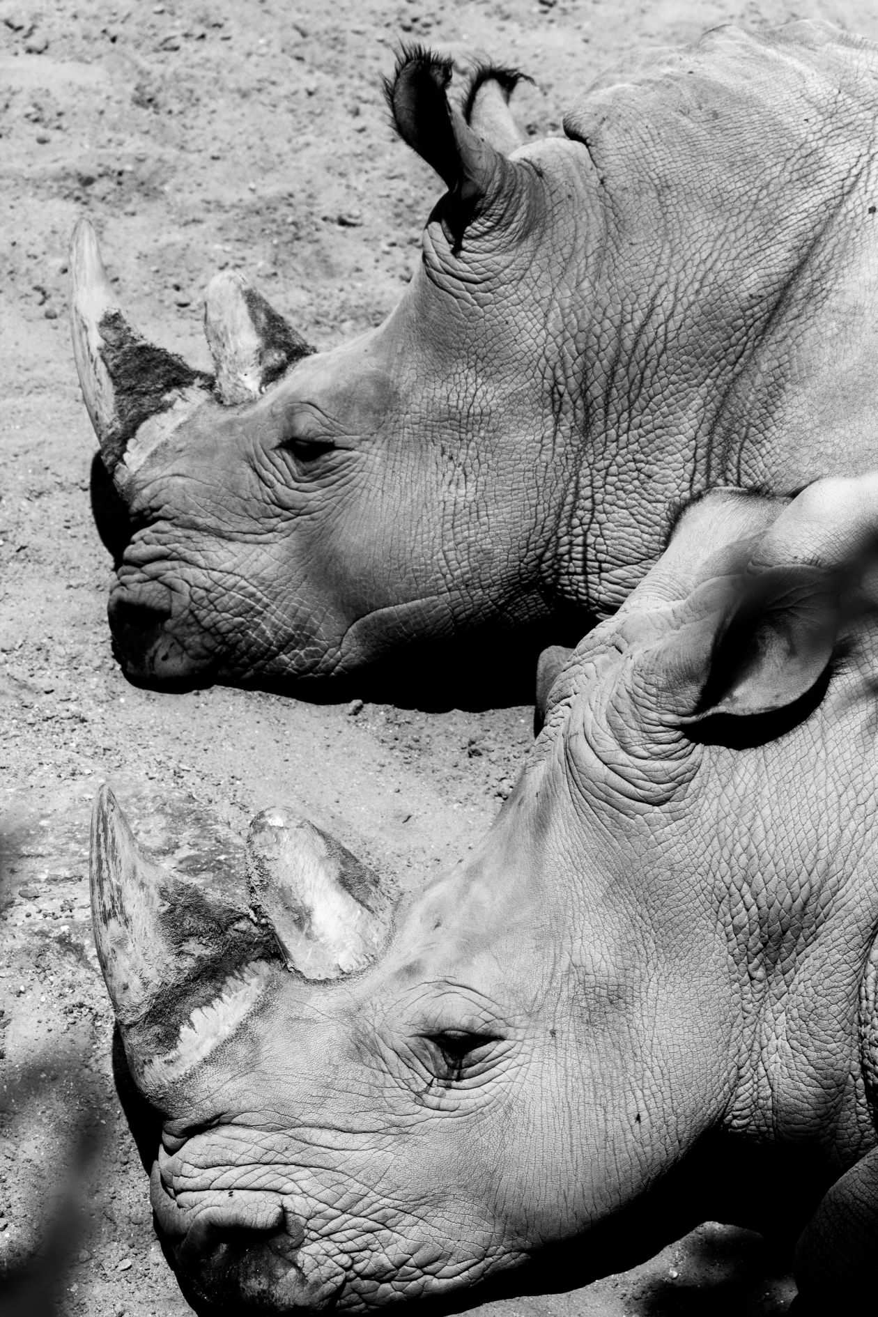 "Free photo ""Rhino"" by Marc Witzel"