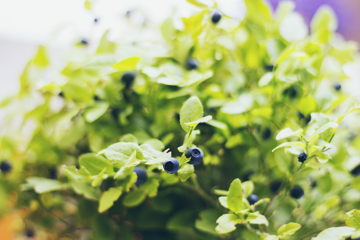"Free photo ""Blueberry"" by Majk M."