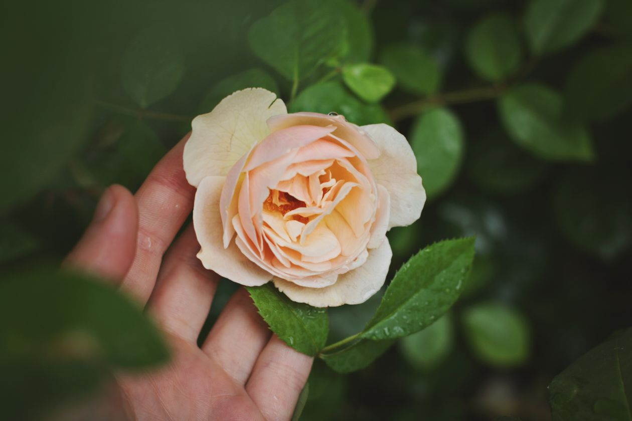 "Free photo ""Rose"" by Maja Petric"
