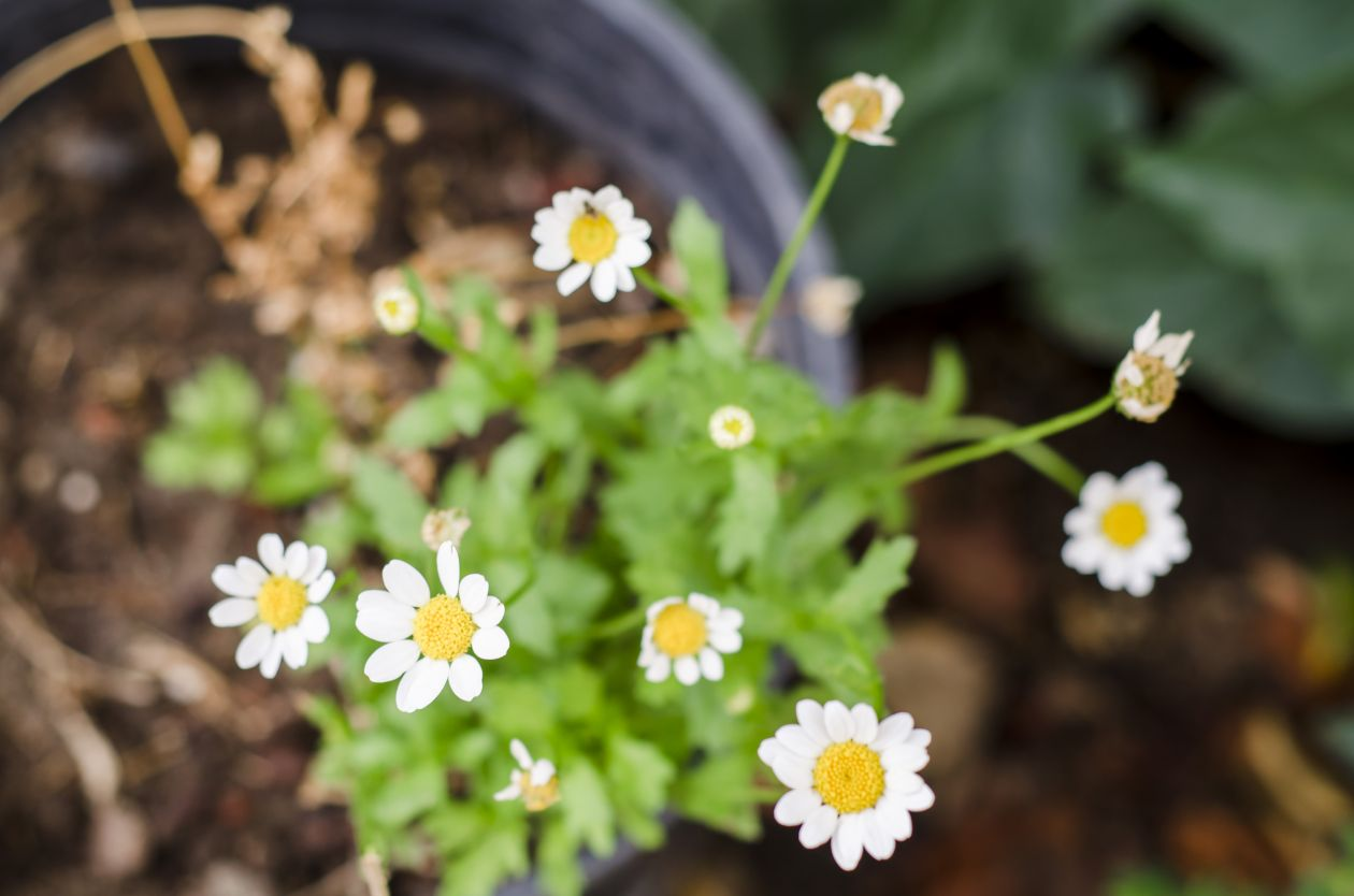 "Free photo ""Daisy"" by RYAN VU"