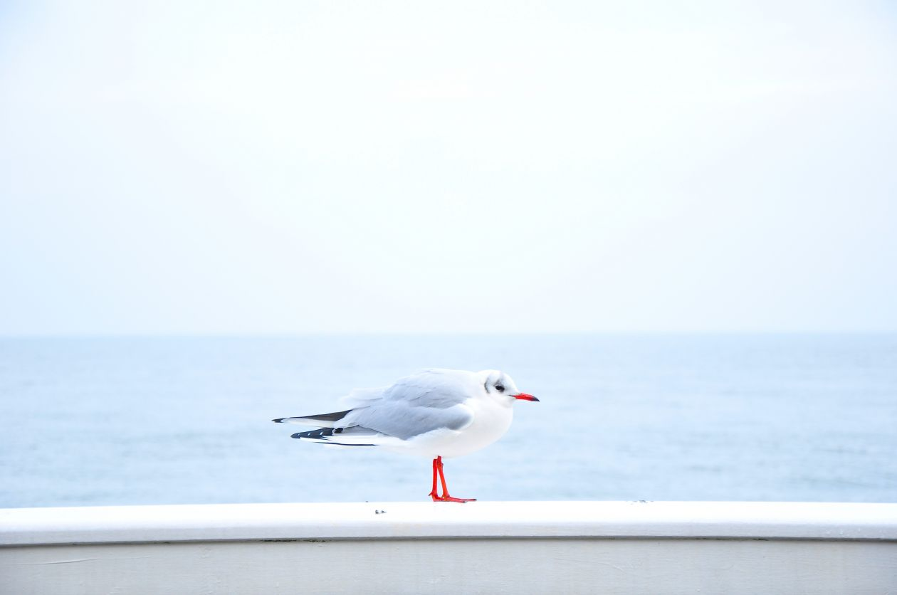 "Free photo ""Seagull"" by davide ragusa"