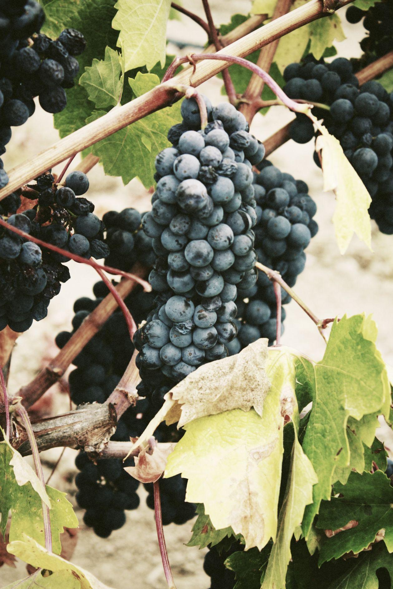 "Free photo ""Grape"" by Jassy Onyae"
