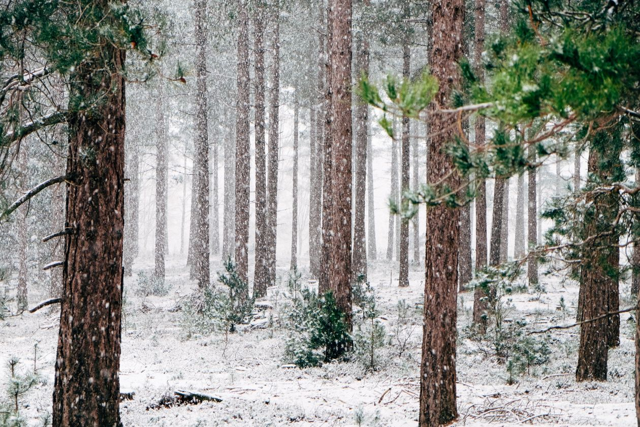 "Free photo ""Frozen Forest"""