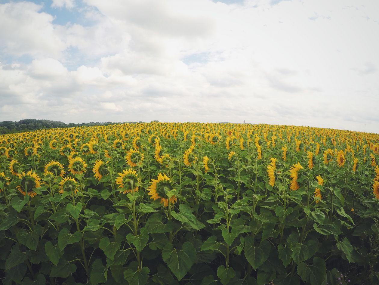 "Free photo ""Sunflower Field"""