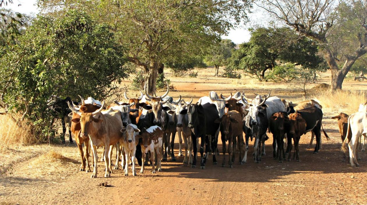 "Free photo ""Cows"""