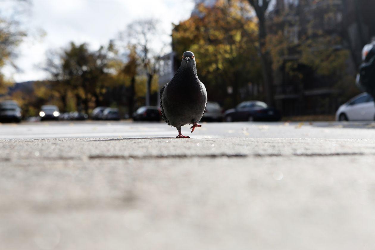 "Free photo ""Pigeon"""