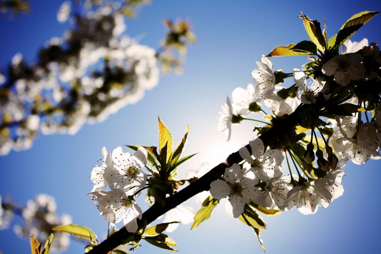 "Free photo ""Cherry tree"""