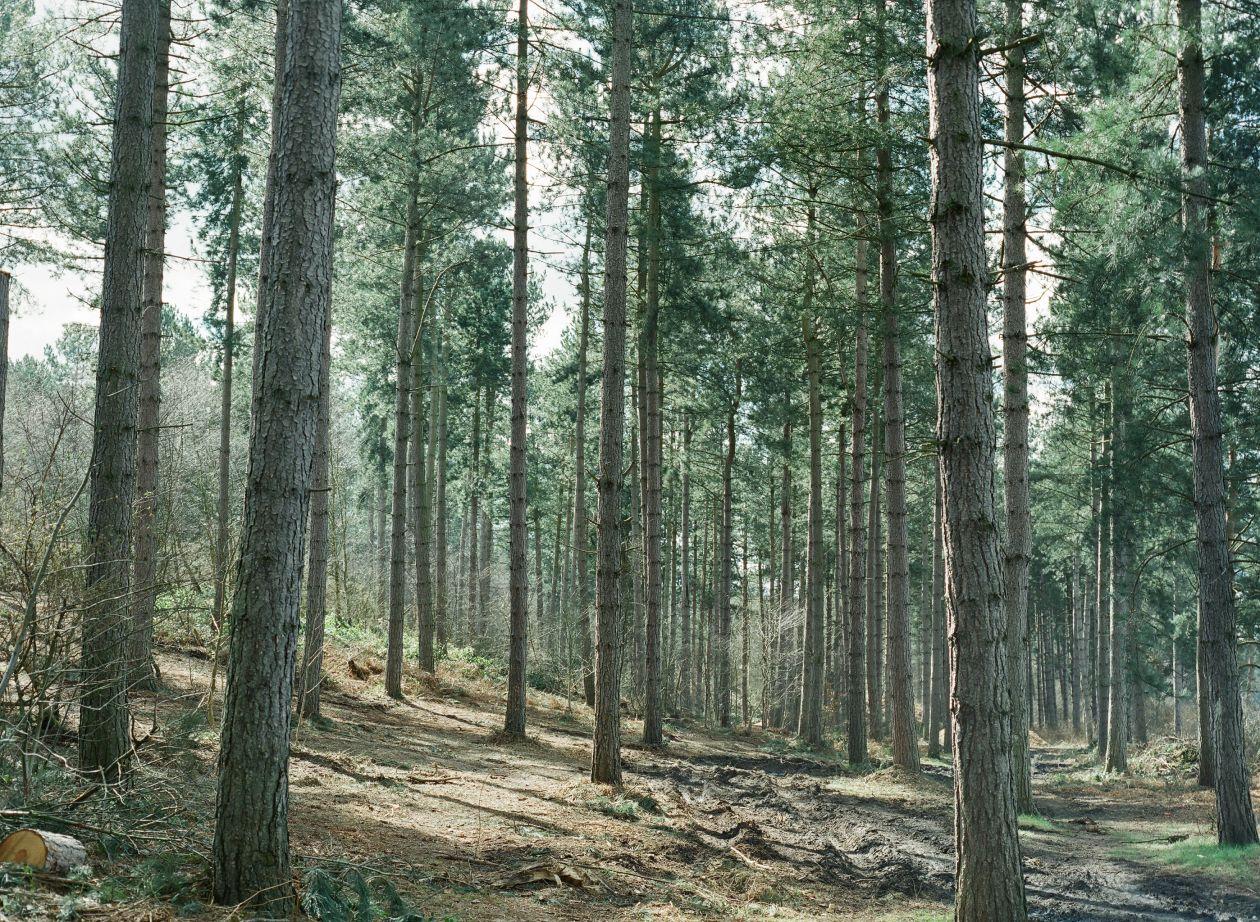 "Free photo ""Pines"""