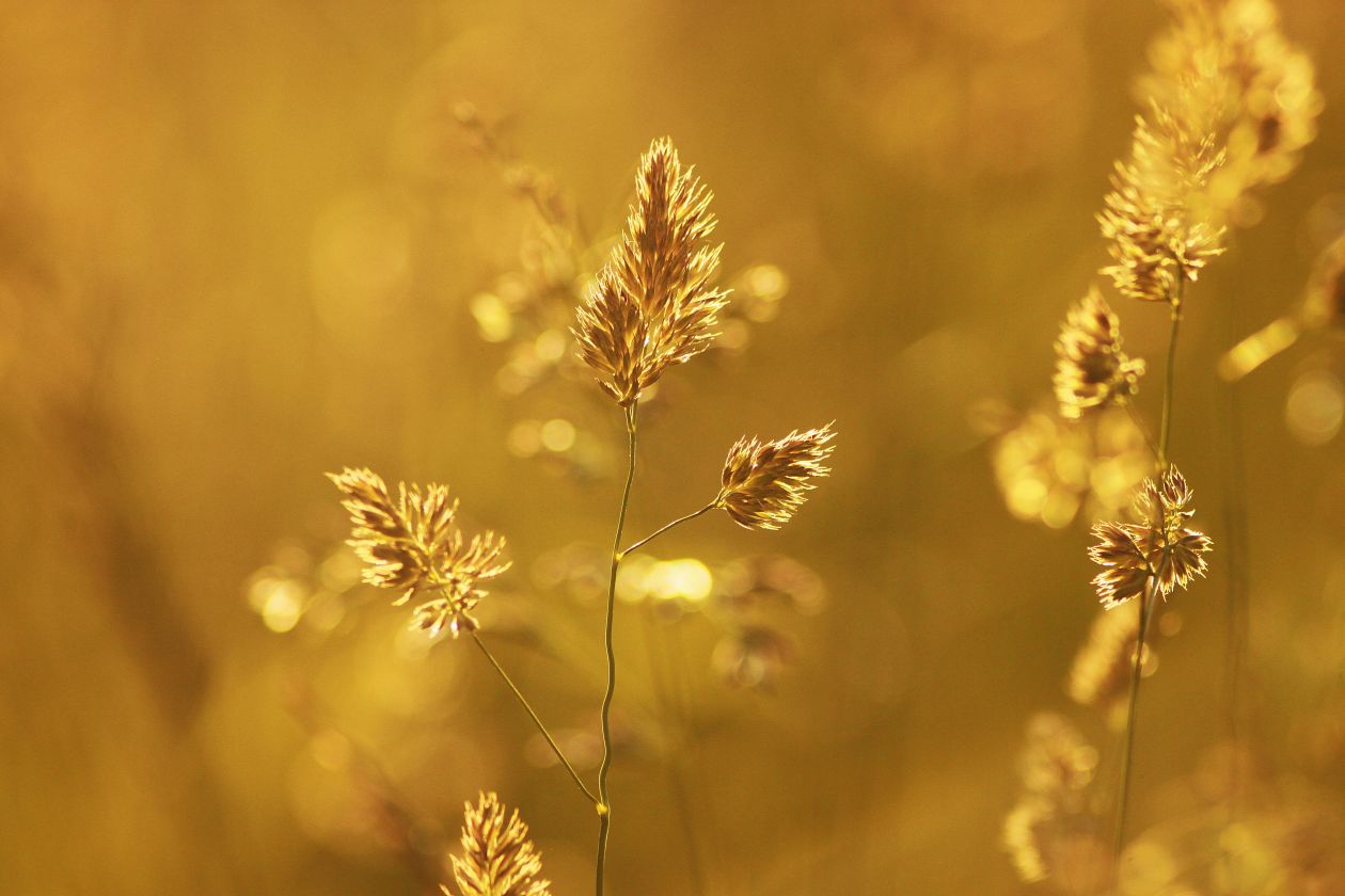 """Free photo """"Wheat Plant during Sunset"""""""