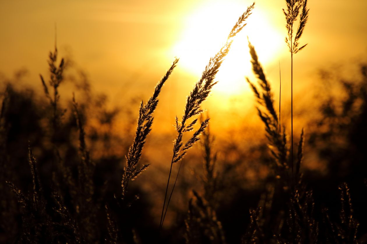 "Free photo ""Wheat Field Against Sky at Sunset"""