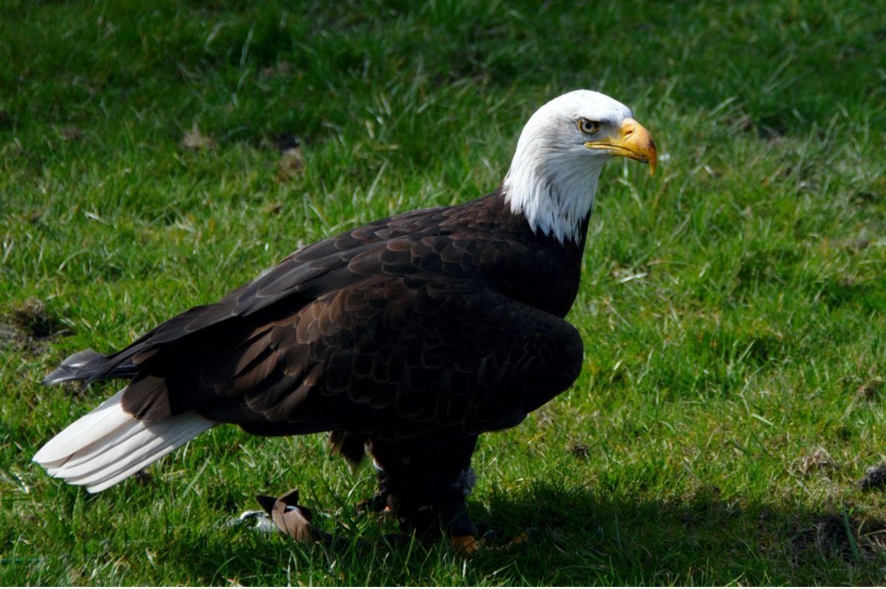 "Free photo ""Adler"""