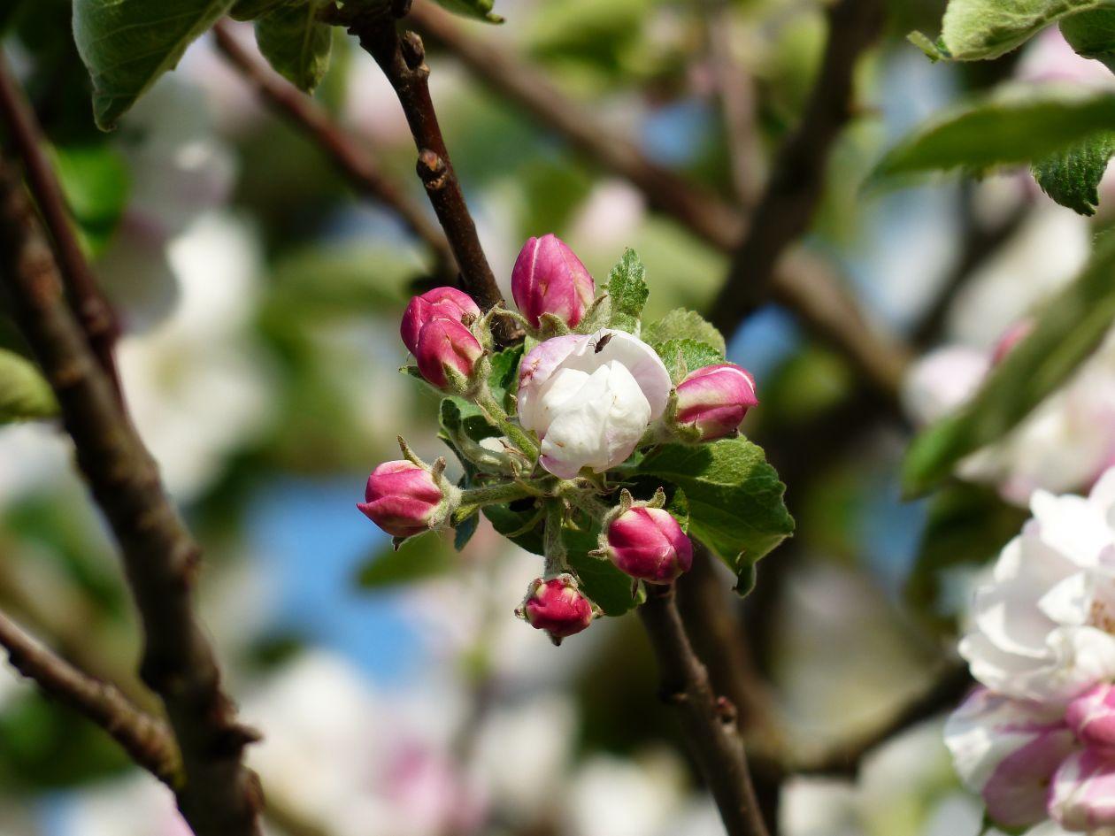 "Free photo ""Apple tree"""