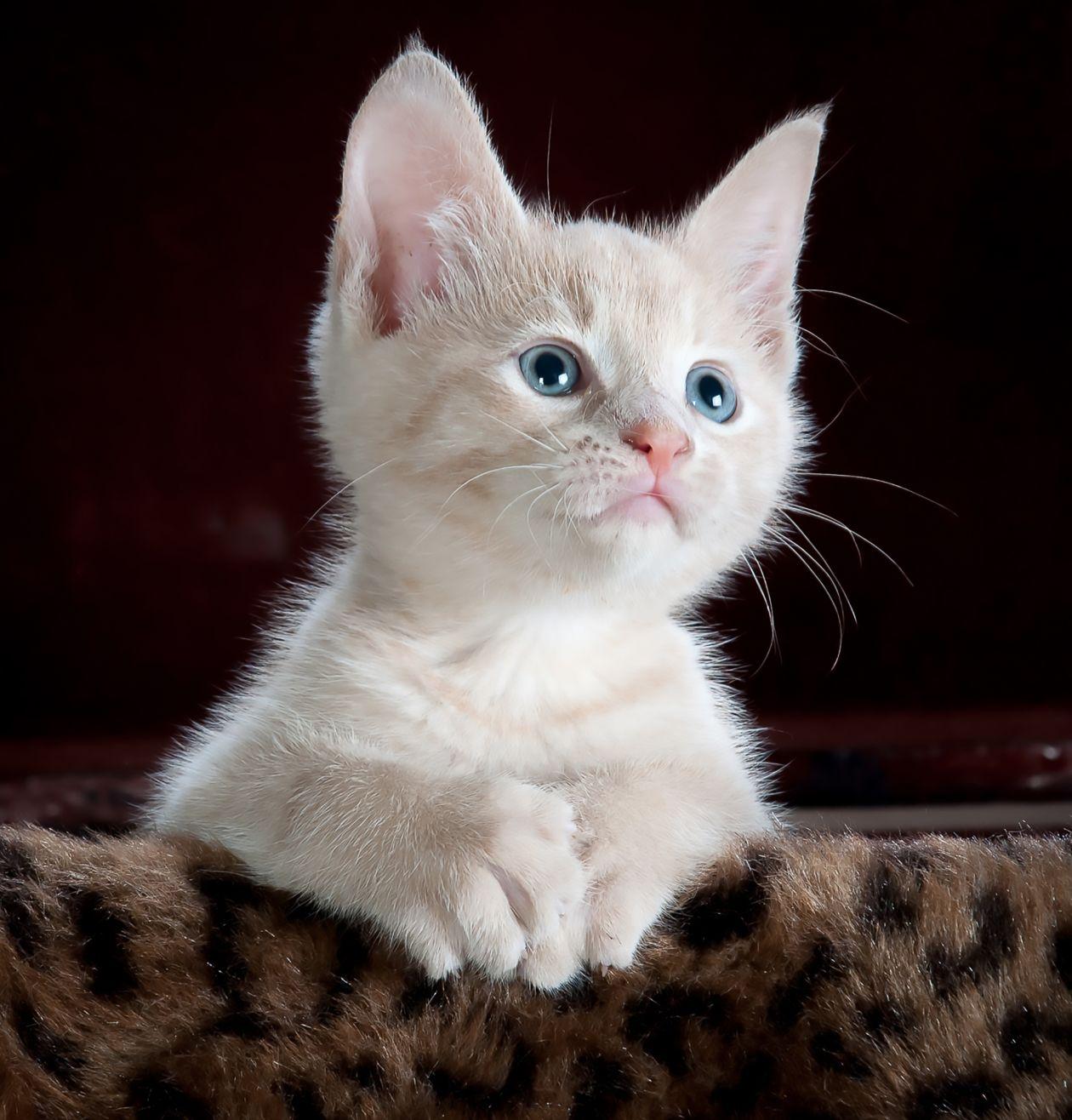 wild cat hybrid kittens for sale